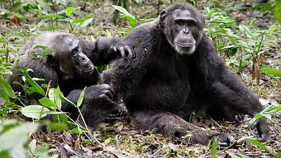 Crónicas de un nómada - Chimpancés (1) - Escuchar ahora