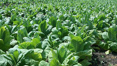 Agro 5 - El futuro del tabaco en Extremadura - 24/10/15 - Escuchar ahora