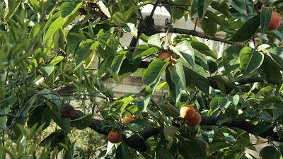 Vida verde - En el jardín del caqui - 29/10/15 - escuchar ahora