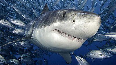 Mundo aparte - Fotografiar y nadar con tiburones - 12/11/15 - Escuchar ahora
