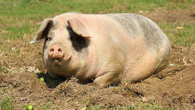 Agro5 - Internacionalizaci�n, c�digo de buenas pr�cticas y los problemas del porcino - 09/01/16