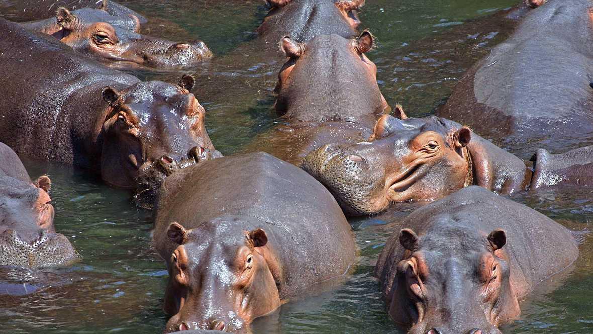 Animales y medio ambiente - Hipopótamos - 31/01/16 - Escuchar ahora