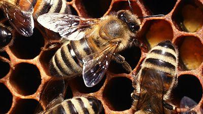 Entre par�ntesis - Las abejas, el modelo a imitar en centros de gesti�n complejos - Escuchar ahora