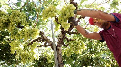 Agro 5 - Recolecci�n uva - 30/07/16 - Escuchar ahora