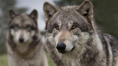 Vida verde - Cultura de lobos, trashumancia y cine - 11/08/16 - escuchar ahora