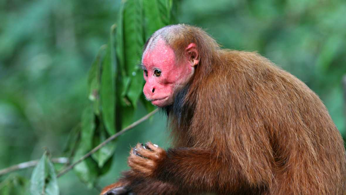 Desde cero - Primates del Amazonas - 02/09/16 - Escuchar ahora