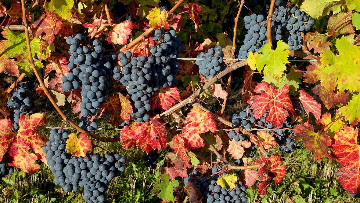 Vivanco, compartiendo cultura del vino - La vendimia de variedades tintas y blancas - 07/10/16 - escuchar ahora