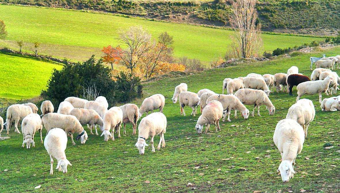El mundo de la carne - La ganadería extensiva de ovino y caprino - 17/12/16 - Escuchar ahora