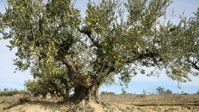 """Agro 5 -  """"Xylella fastidiosa"""" un riesgo real para el olivar, la vid y los frutales - 17/12/16 - Escuchar ahora"""