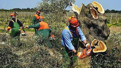 """Agro 5 -  La """"Xylella Fastidiosa"""" invade Baleares y pérdidas por temporal - 28/01/17 - Escuchar ahora"""