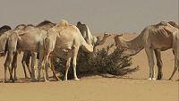 La vuelta al mundo con Miquel Silvestre - Los camellos de Sudán - 05/03/17 - Escuchar ahora