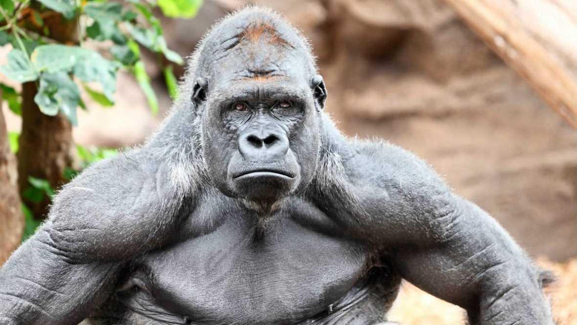El palabrero - Gorilas macho con camisas fucsia - 21/05/17 - Escuchar ahora
