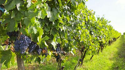 Mundo rural - Reestructuración de viñedos en Extremadura - 18/08/17 - Escuchar ahora