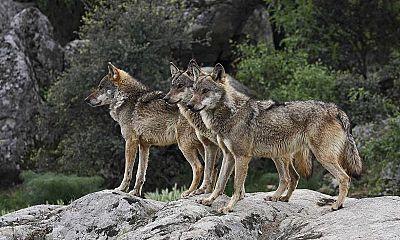 Entre paréntesis - Ganaderos y lobos, ¿es posible su convivencia? - Escuchar ahora