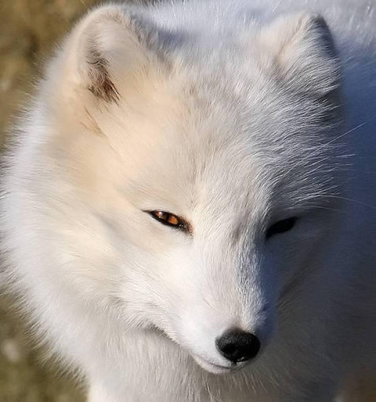 La tundra ártica de la que depende el zorro ártico (Alopex lagopus) está desapareciendo debido al aumento de las temperaturas y al florecimiento de nuevas especies vegetales.
