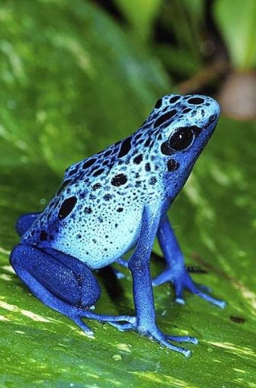 El asombroso colorido de una rana de flecha venenosa