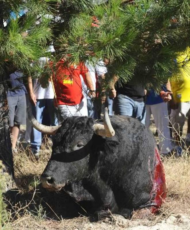El toro de la Vega, de 2011, de nombre Afligido, en el suelo tras ser lanceado en Tordesillas, Valladolid