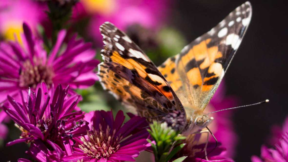 Mariposas con genes de avispa la naturaleza crea animales for Noticias naturaleza