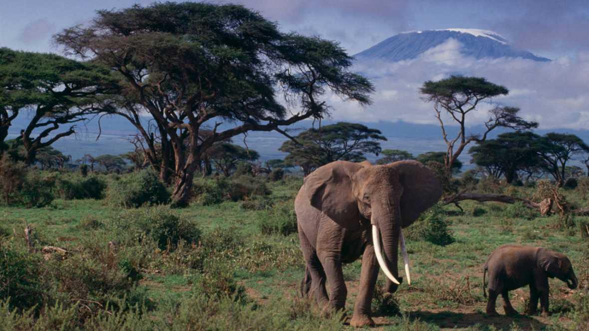 Las células de los elefantes tienen más ejemplares del gen que contiene la proteína que elimina los tumores.