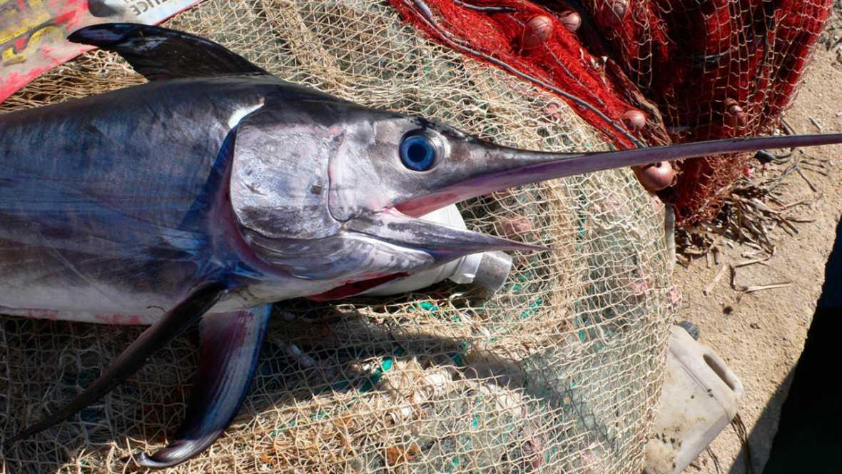 El pez espada del mediterr neo est al borde del colapso for Curiosidades del pez espada
