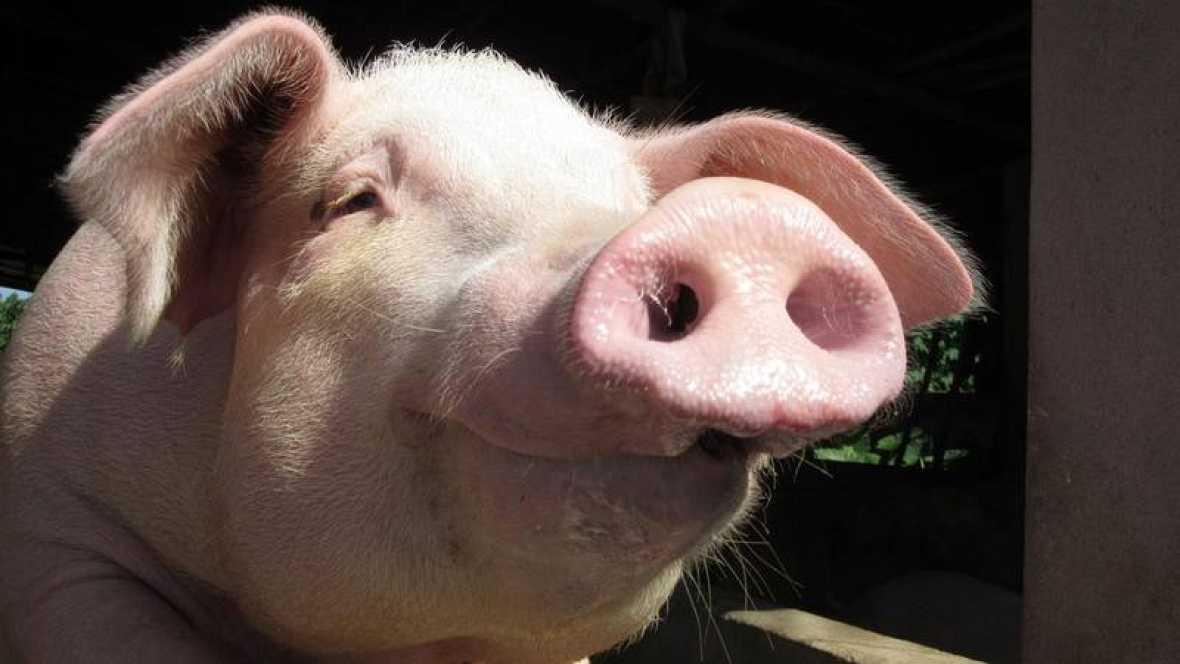 Resultado de imagen para Cerdos sin retrovirus