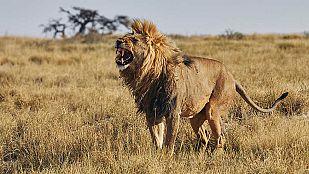 Video Iconos de la vida salvaje: Los depredadores de África