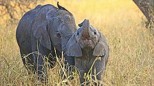 Video La vida en el planeta Tierra. Historia de un elefante