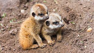 Video La vida en el planeta Tierra. Historia de un suricato