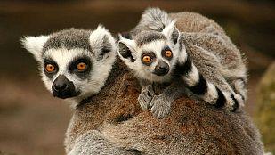 Video Lémures legendarios de Madagascar