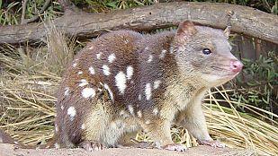 Video Secretos de la Australia salvaje: Los mini marsupiales