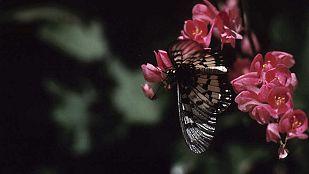 Video Secretos de la Australia salvaje: Mariposas y otros insectos