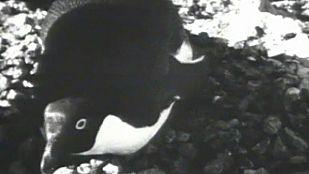 Video El mundo de los pingüinos (II)