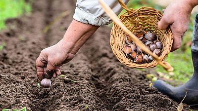 Plantar ajos en invierno