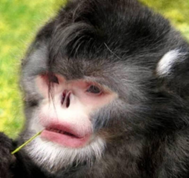 Reconstrucción de un mono de nariz chata de Myanmar (Birmania) que estornuda cuando llueve