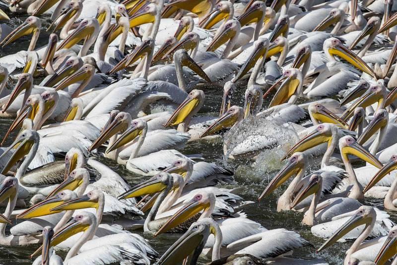 Migración de pelícanos a África