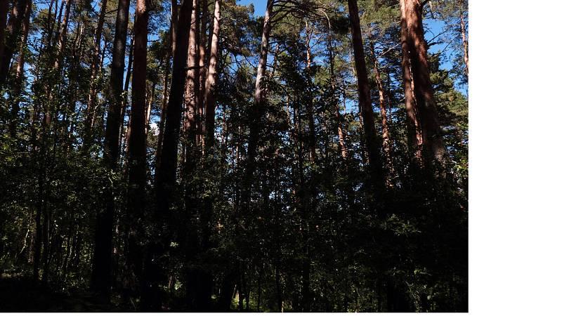 El pino silvestre de Valsaín