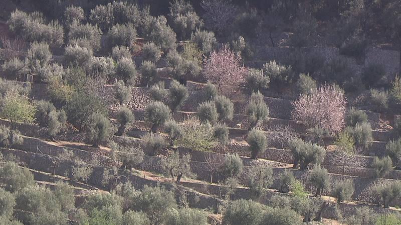 Los bancales permiten cultivar olivos en la escarpada sierra de Tramuntana