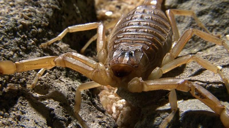 El escorpión amarillo es el que mejor se ha adaptado al clima seco de Tabernas