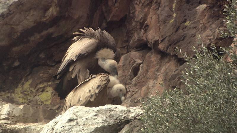 En los roquedos de Monfragüe nidifican buitres, águilas imperiales y cigüeñas negras
