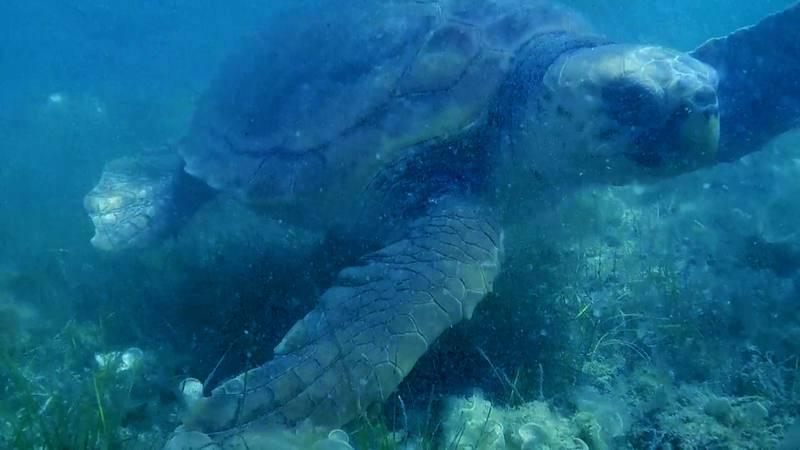 Tortuga boba afectada por ingestión de plásticos en el Maditerráneo