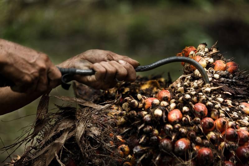 Cada racimo de dátiles para obtener aceite de palma pesa unos 25 kilogramos