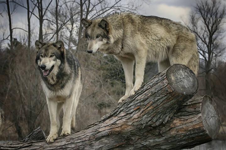 En 1999 se censaron en Sierra Morena ocho grupos familiares de lobo ibérico, la mayoría de los cuales se consideran extinguidos.