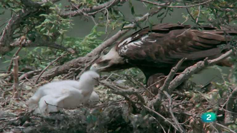 El hombre y la tierra (Fauna ibérica) - Águila imperial, 1