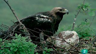 El hombre y la tierra (Fauna ibérica) - Águila imperial, 2