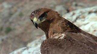 El hombre y la Tierra (Fauna ibérica) - El águila perdicera, 2