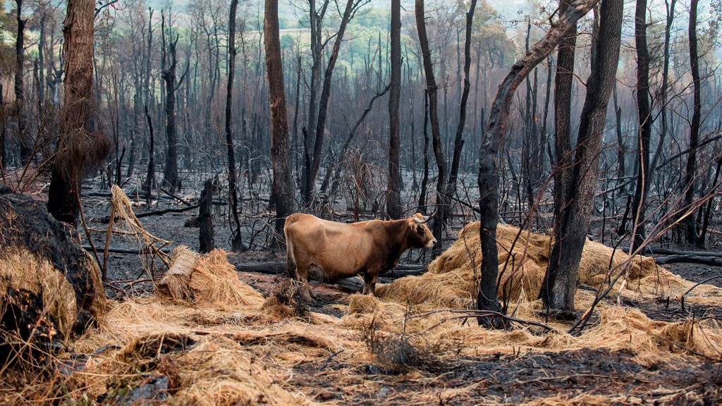 Los animales y los pastos, muy afectados por los incendios en Galicia