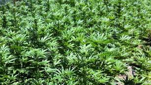 La Fiscalía Antidroga vigilará a las asociaciones de consumidores de cannabis