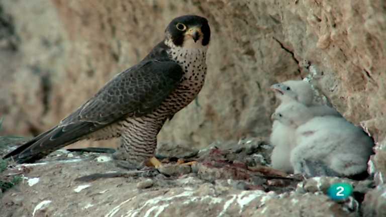El hombre y la Tierra (Fauna ibérica) - Las aves esteparias, 1