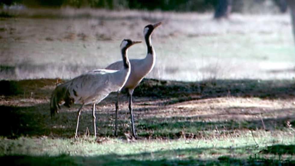 El hombre y la Tierra (Fauna ibérica) - Aves viajeras