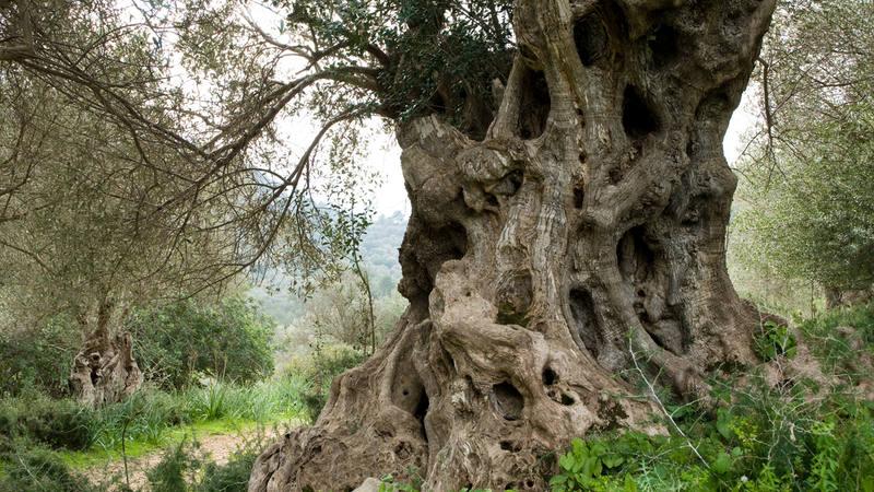 La bacteria Xylella fastidiosa fue la responsable de la muerte de cientos de miles de olivos en Italia.